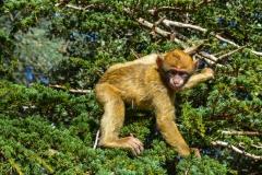 Barbary-Apes-2