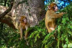 Barbary-Apes-3