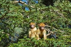 Barbary-Apes