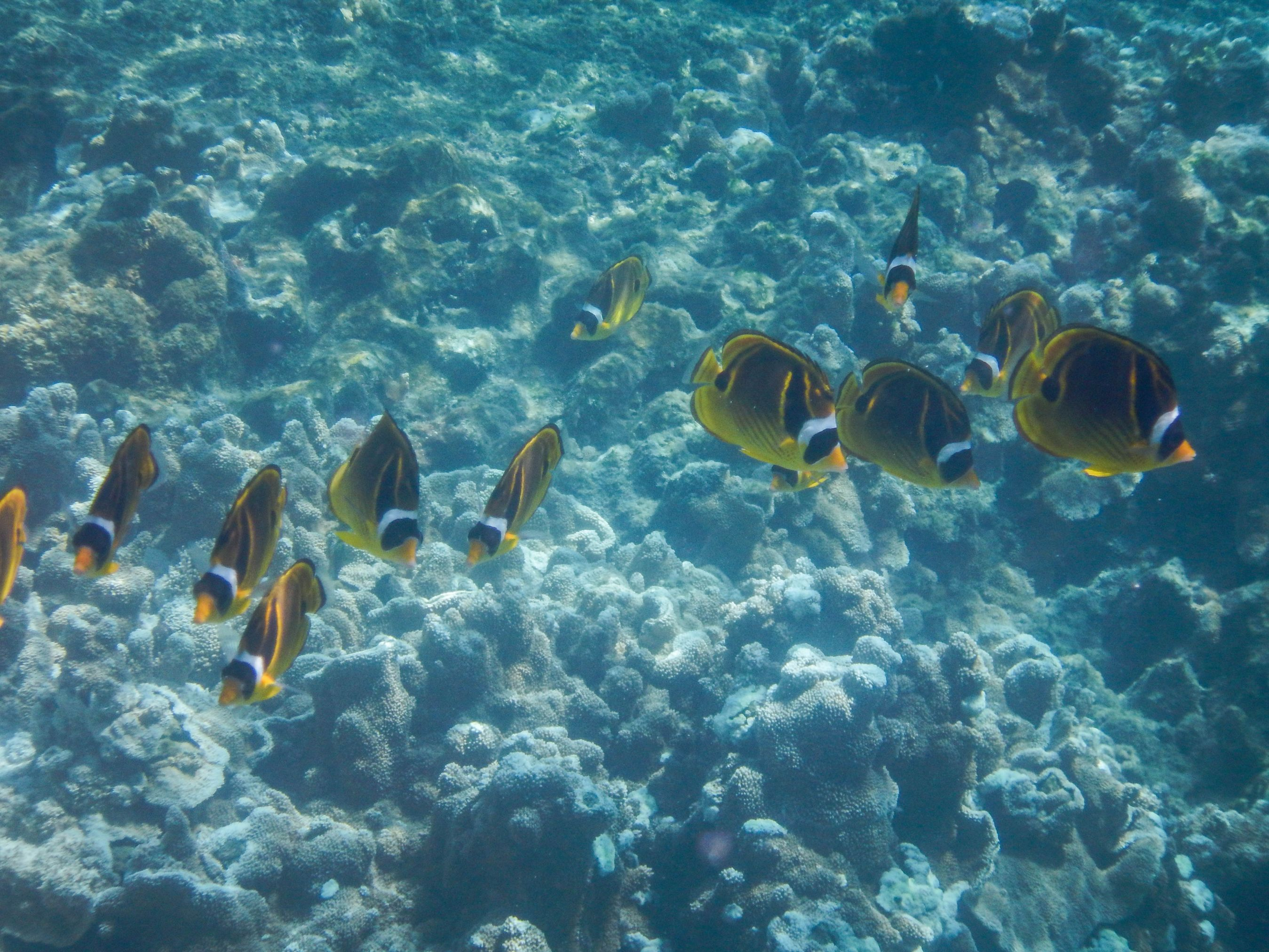 School-of-Yellow-Fish