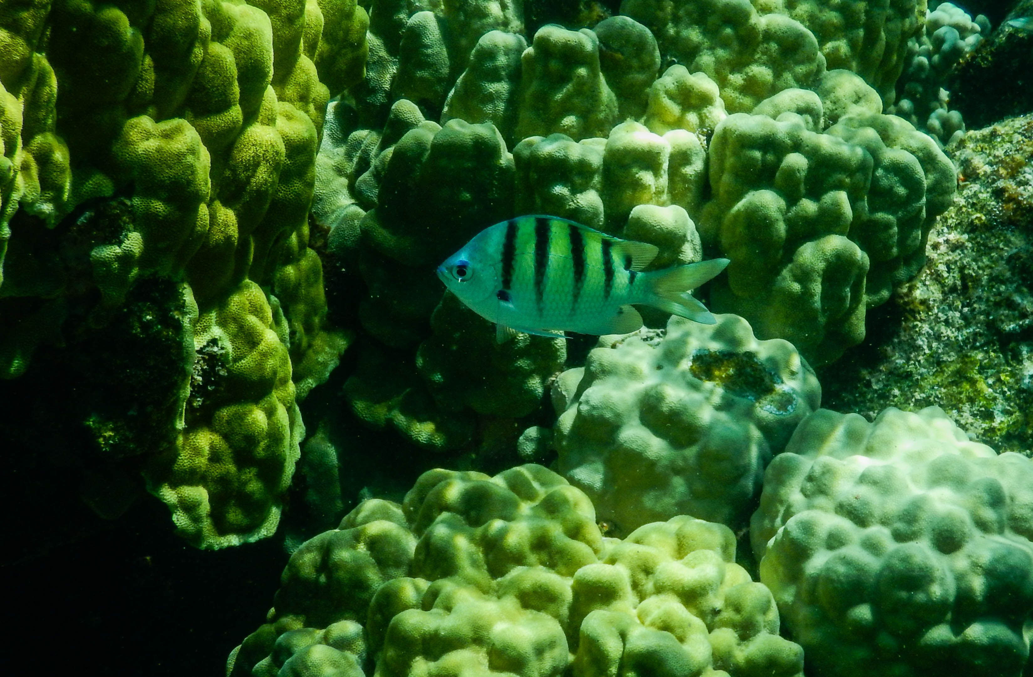 Small-Striped-Fish