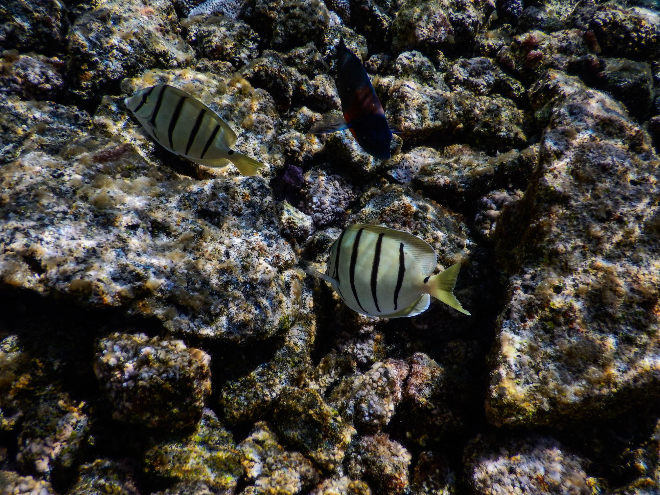 White-Stripped-Fish