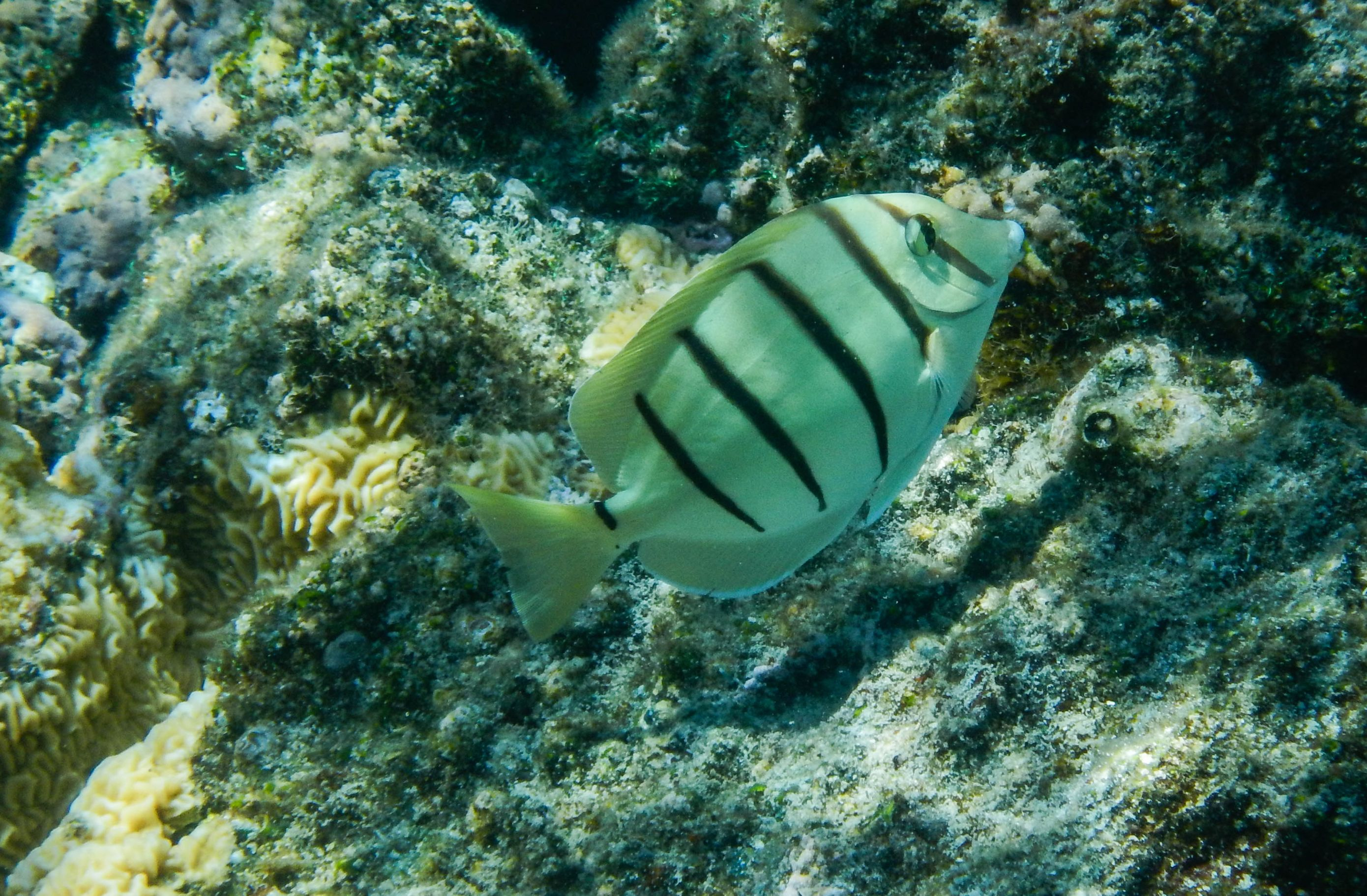 White-and-Black-Striped-Fish