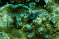 Black-and-White-Spotted-Fish