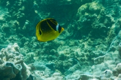 Black-and-Yellow-Fish