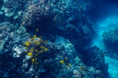 Reef-with-Yellow-Tang-School