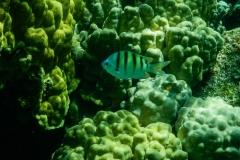 Small-Striped-Fish