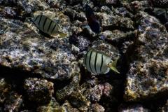 White-Stripped-Fish