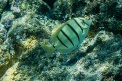 White-and-Black-Striped-Fish