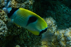 Yeloow-and-White-Fish