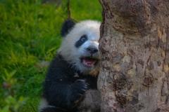 Panda-1