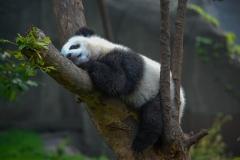 Panda-11