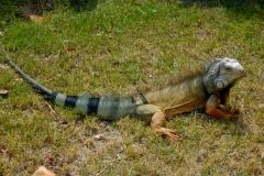 Iguana-3