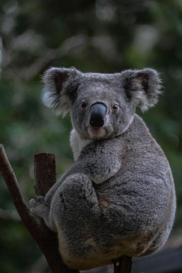 Koala-11