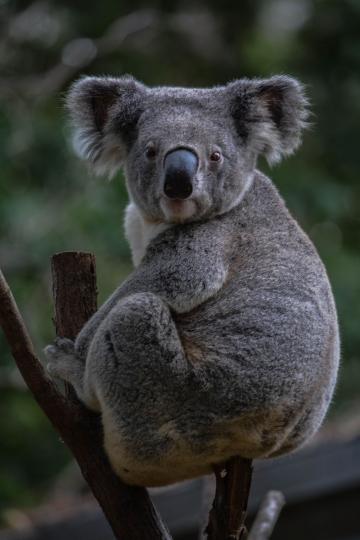 Koala-12