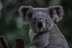 Koala-10