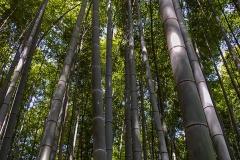 Arashimaya-Bamboo-Forest-2