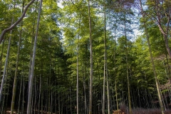 Arashimaya-Bamboo-Forest-4