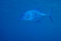 Big-Blue-Fish
