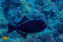 Black-Fish