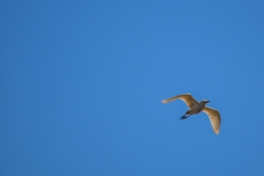 Flying-White-Bird