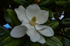 Giant-White-Flower