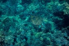 Green-Turtle-2