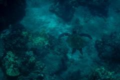 Green-Turtle-3