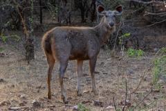 Sambar-Deer-2