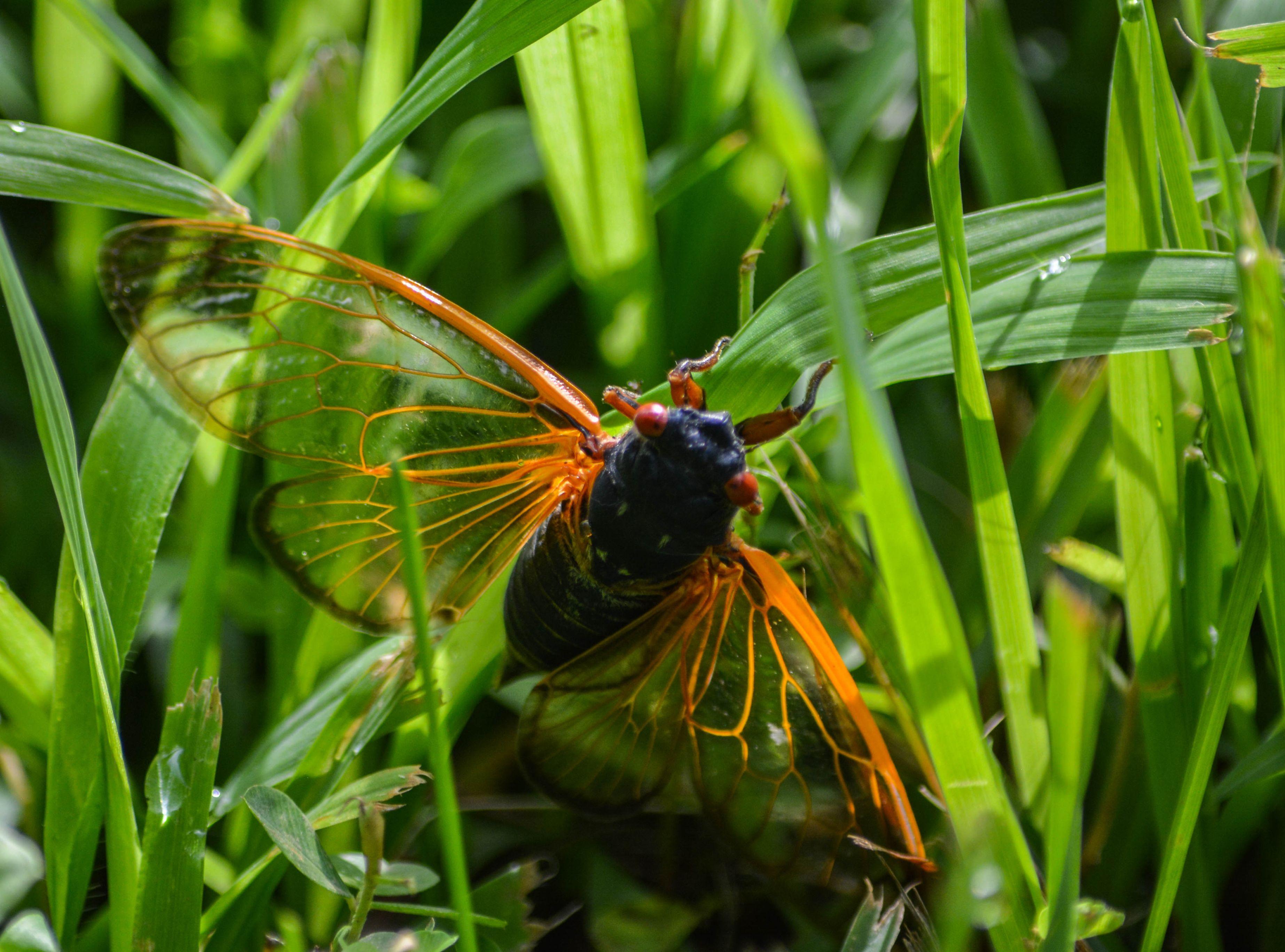 17-Year-Cicada