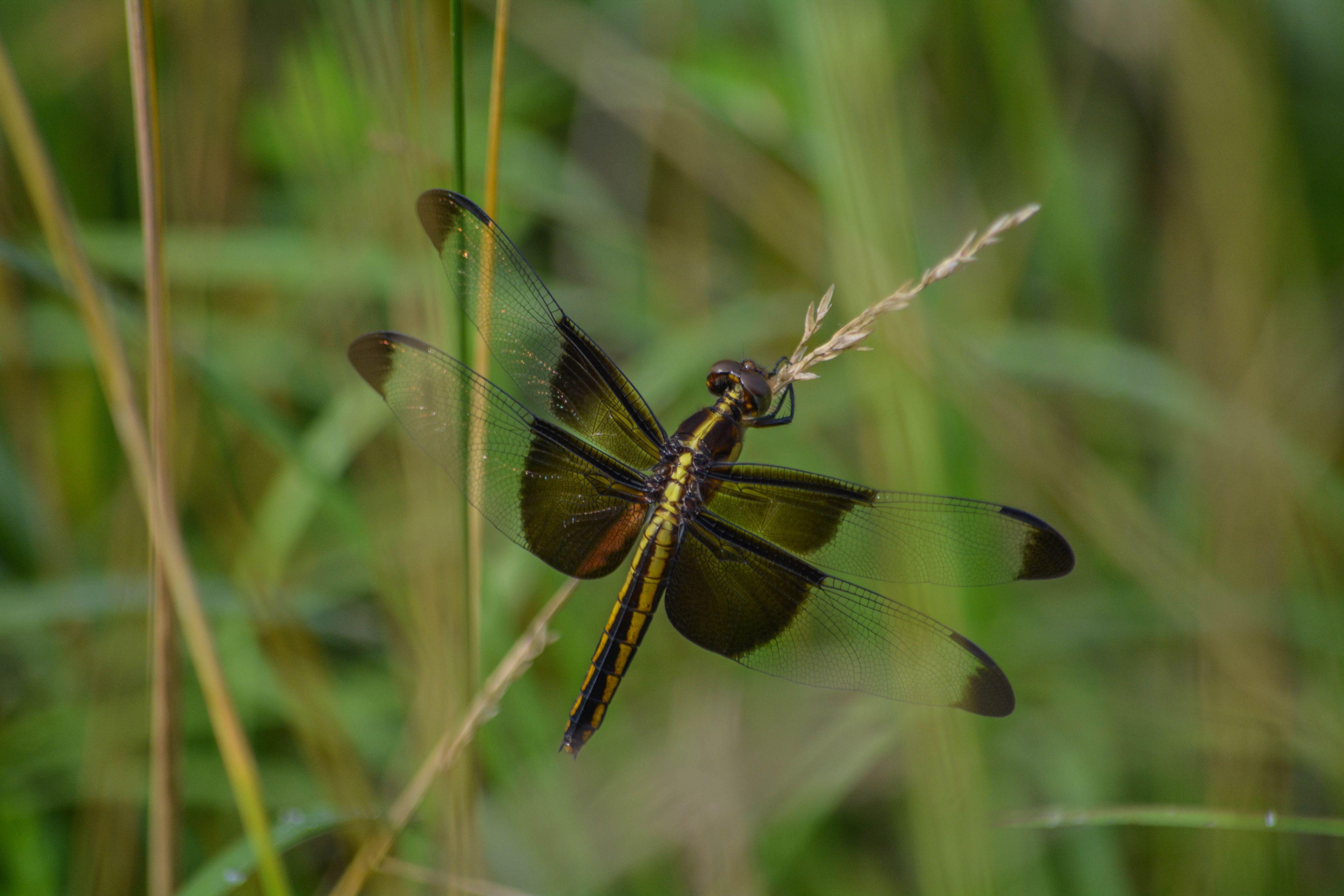 Black-Dragonfly