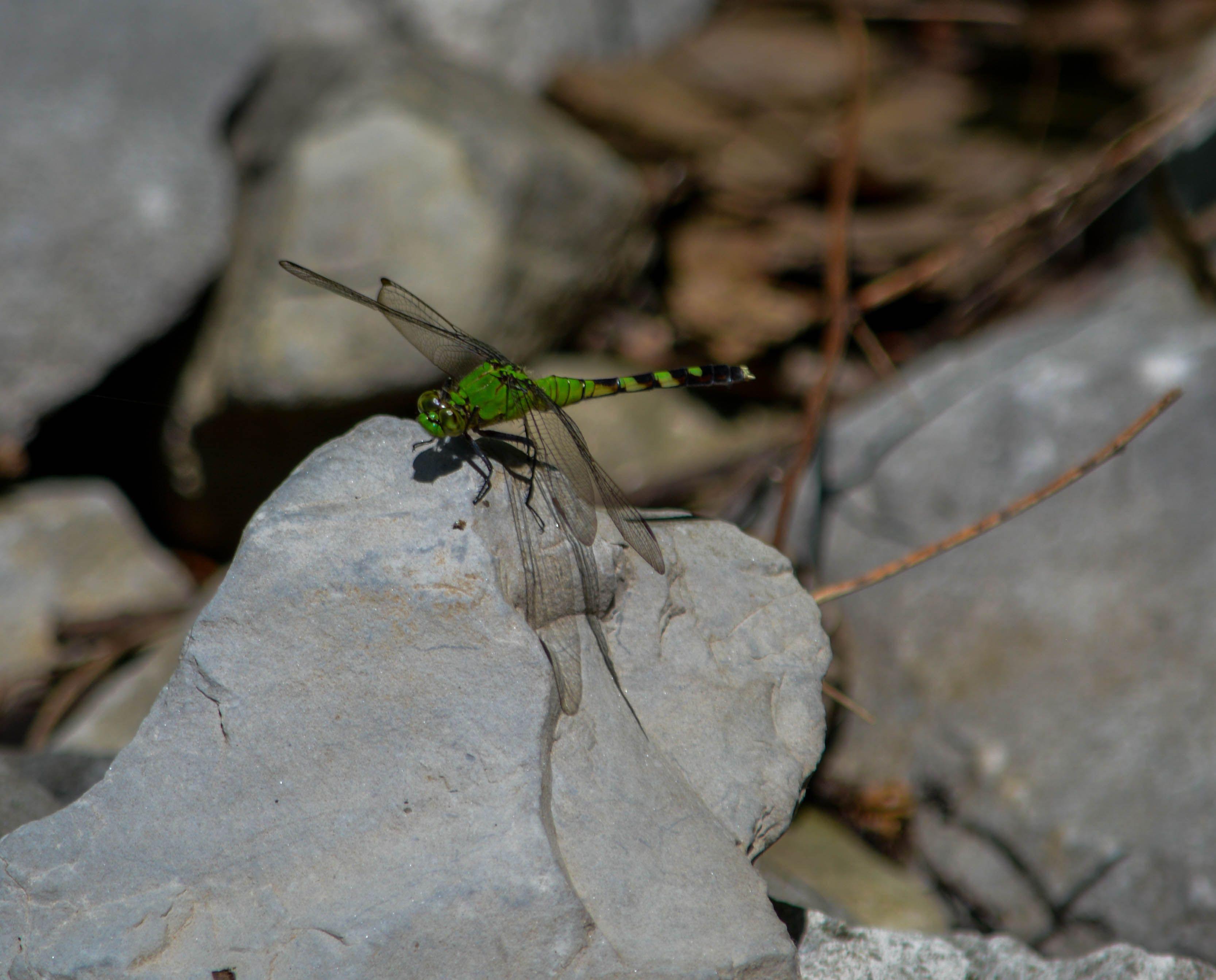 Green-Dragonfly