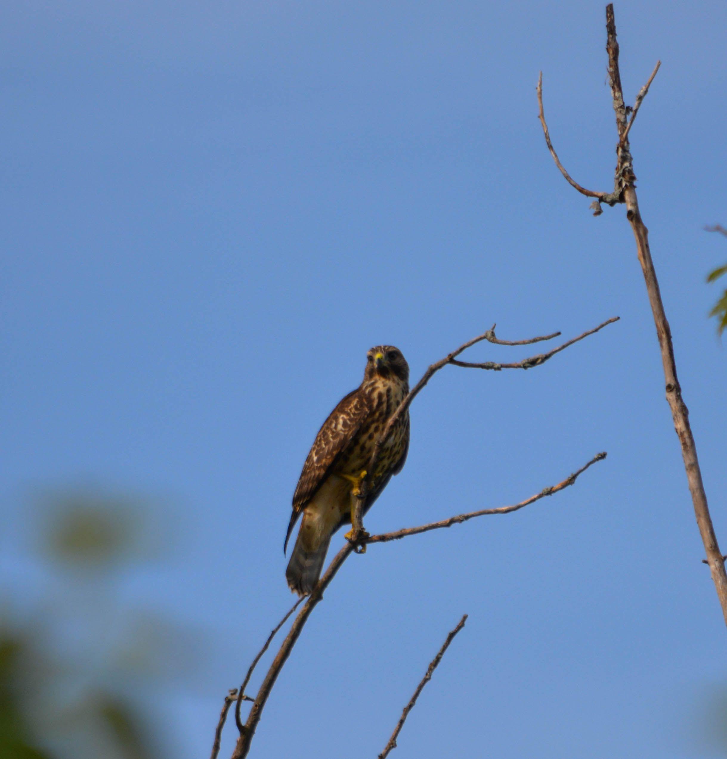 Hawk-in-Tree