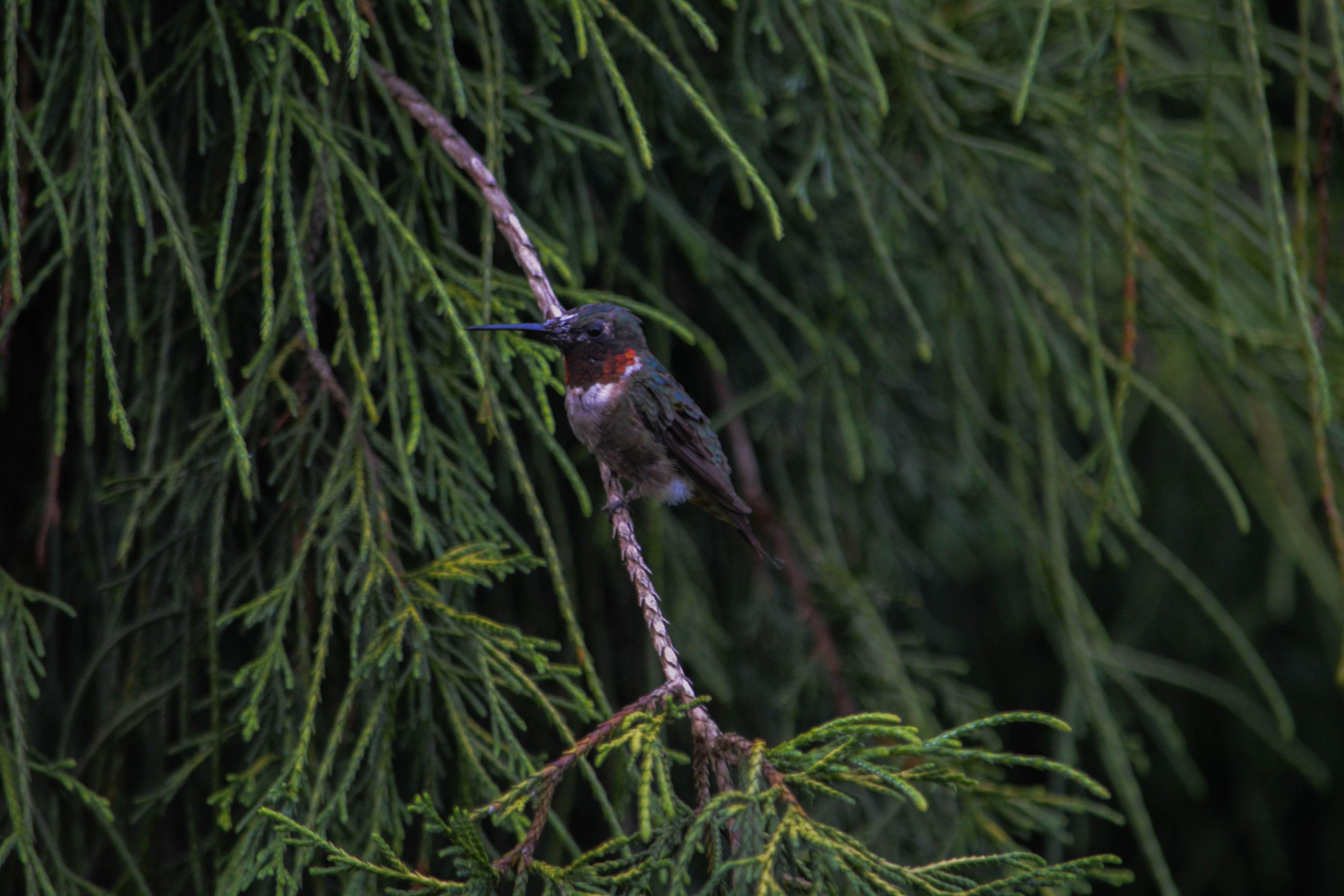 Hummingbird-2-2