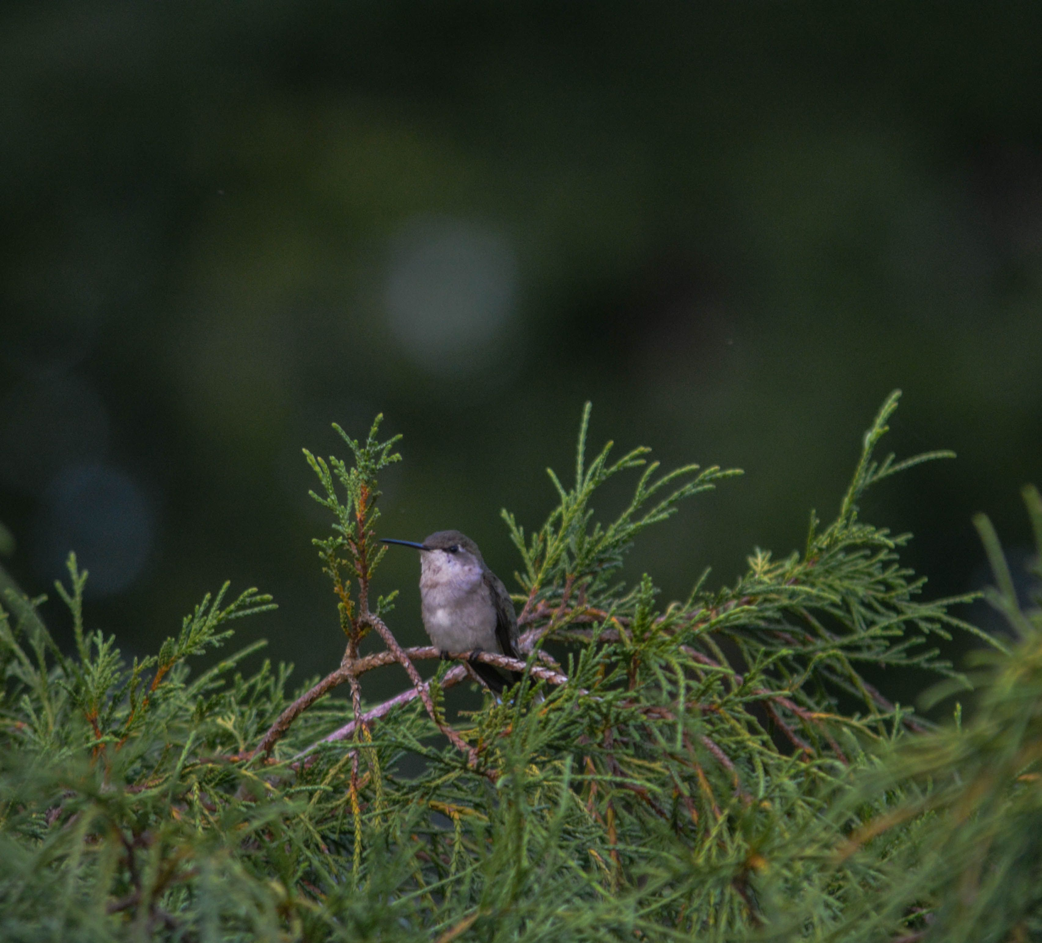 Hummingbird-3-3