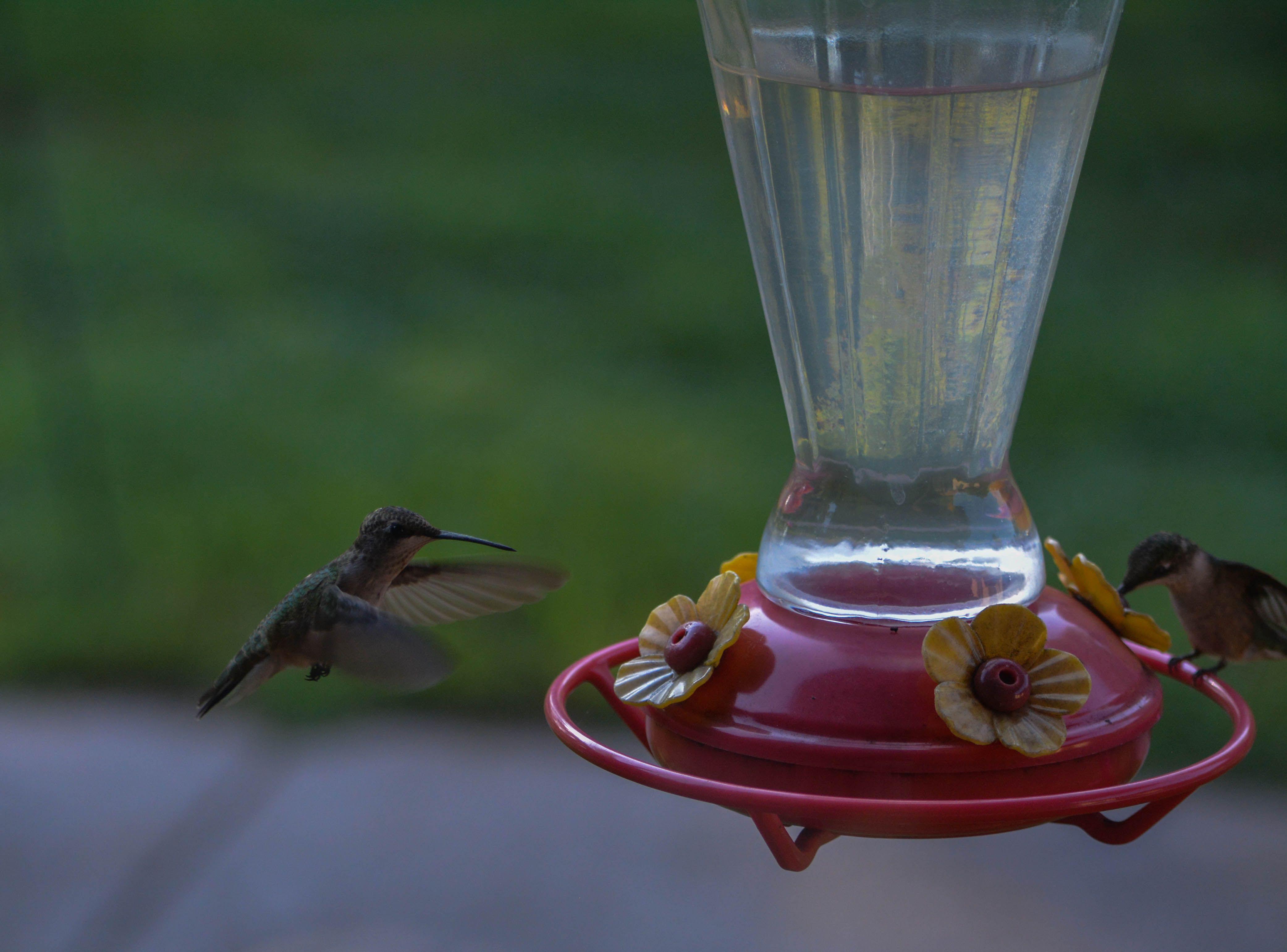 Hummingbird-8