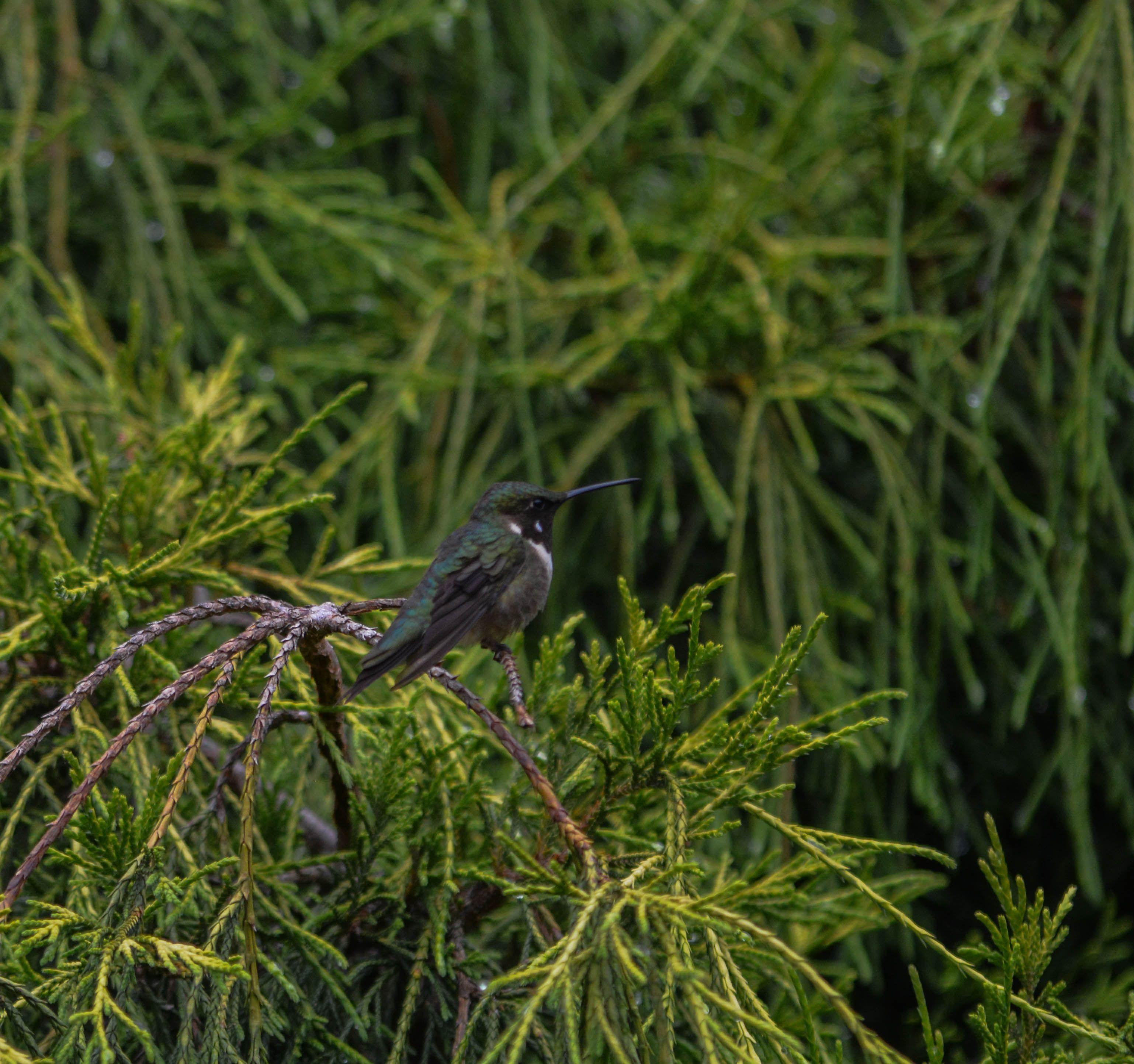 Hummingbird-in-tree