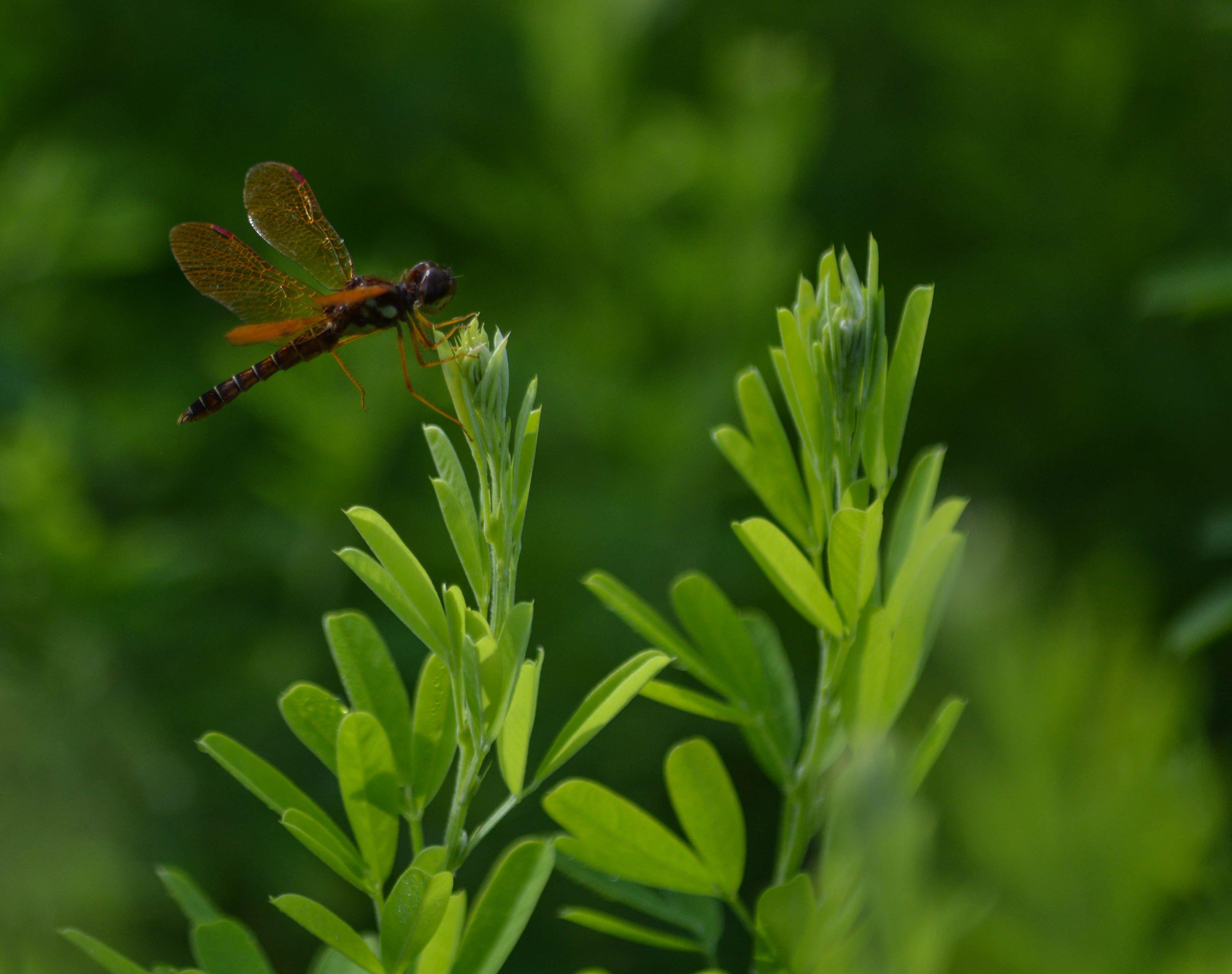 Orang-eDragonfly