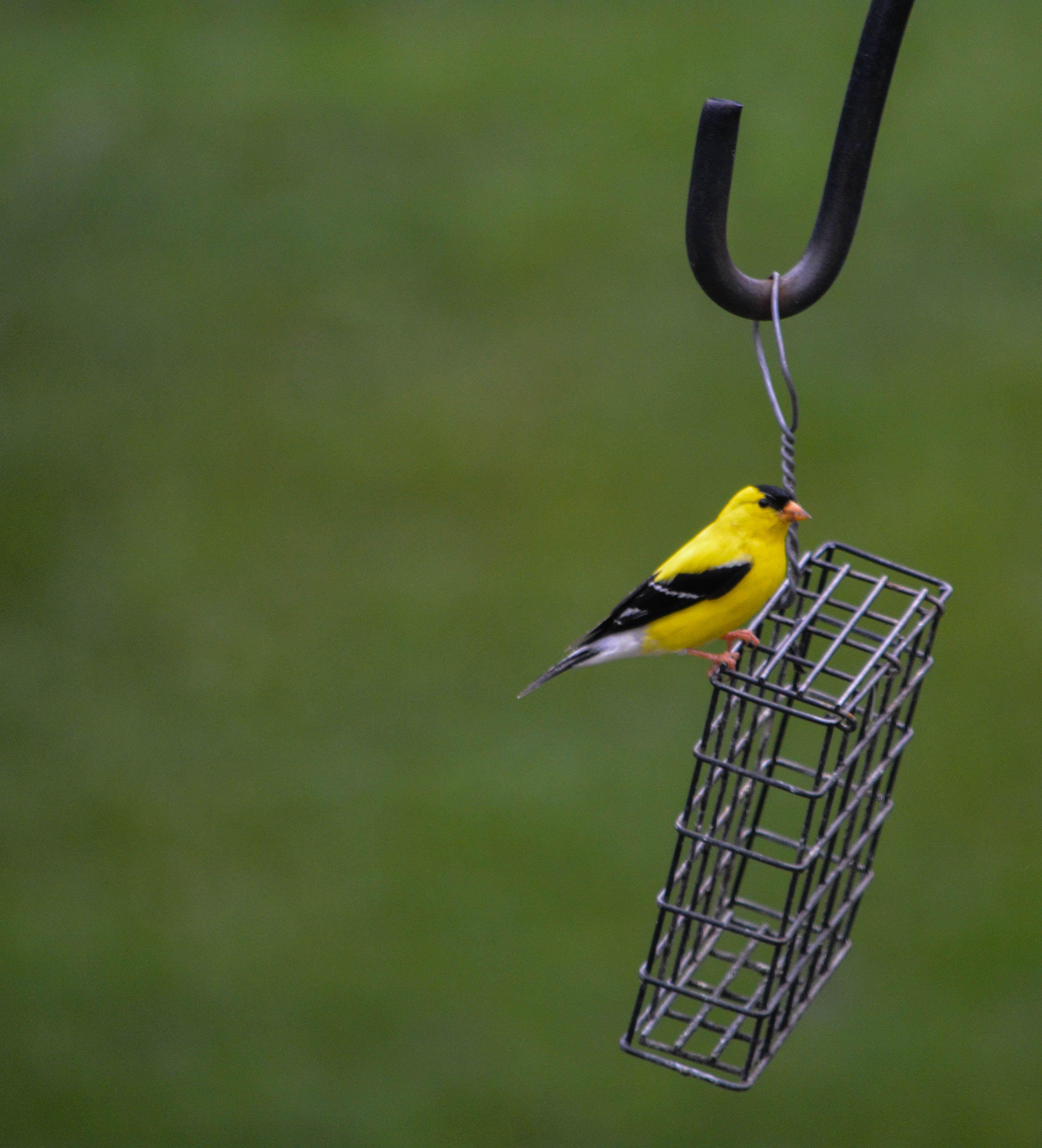 Yellow-Finch