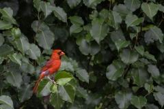 Cardinal-in-Leaves