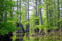 Cypress-Swamp-24-1