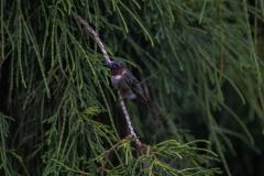 Hummingbird-2-3