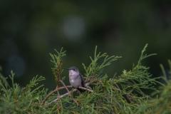 Hummingbird-3-2