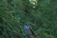 Hummingbird-5