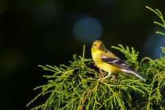 Yellow-Finch-in-Tree