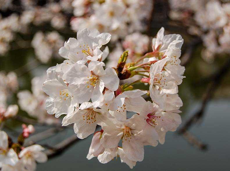 1_Cherry-Blossom