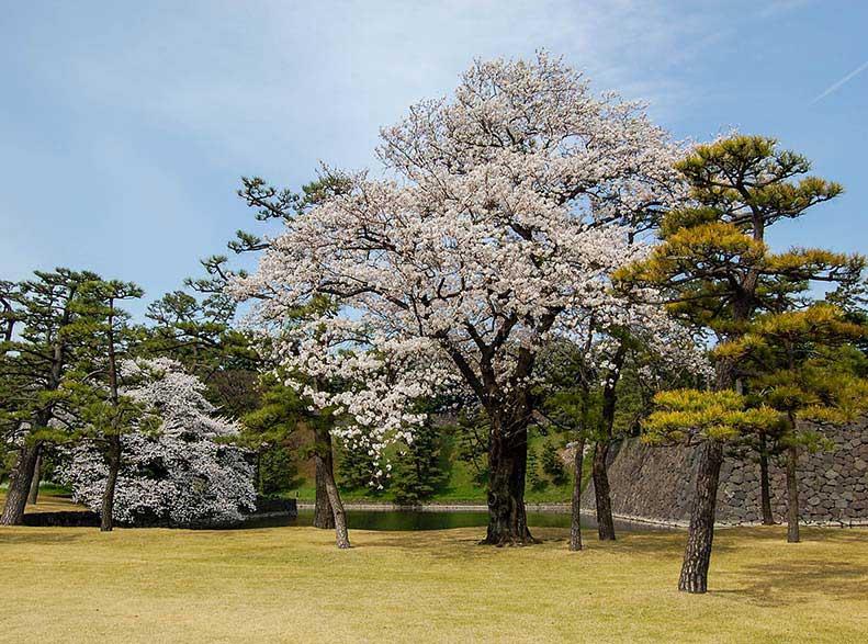 1_Cherry-Blossoms