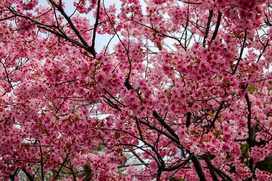 Cherry-Blossoms-2