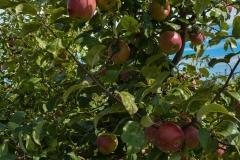 Apples-3