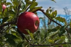 Apples-8